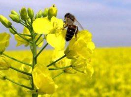 пчела1